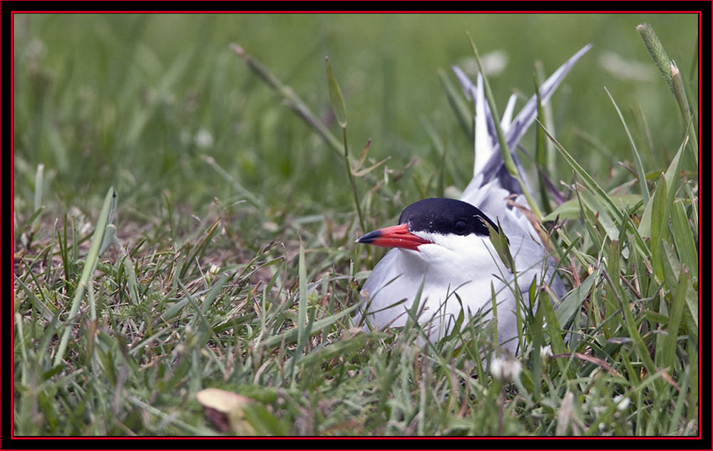 Nesting Common Tern - Maine Coastal Islands National Wildlife Refuge