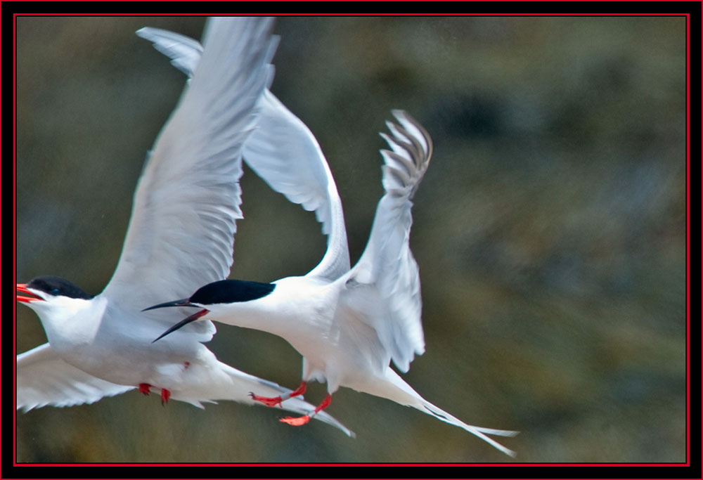 Roseate in Altercation with Common Tern - Maine Coastal Islands National Wildlife Refuge