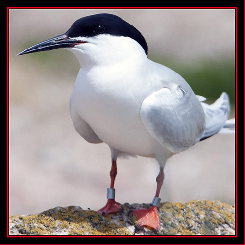 Roseate Tern - Maine Coastal Islands National Wildlife Refuge