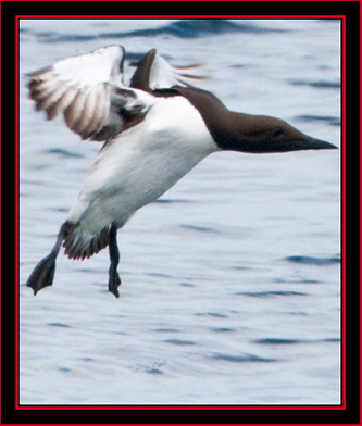 Common Murre Landing - Maine Coastal Islands National Wildlife Refuge