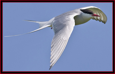 Artic Tern - Maine Coastal Islands National Wildlife Refuge