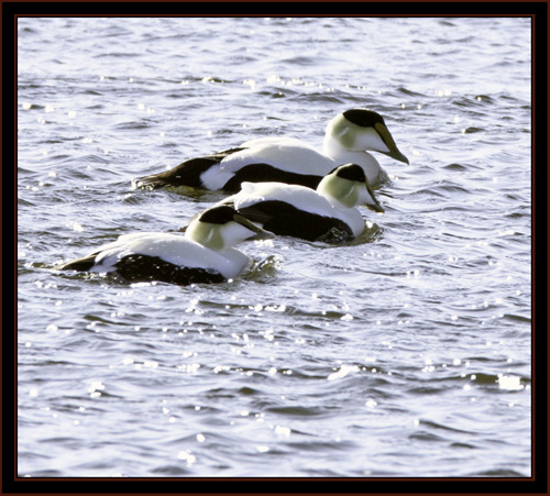 Common Eiders - Phippsburg, Maine