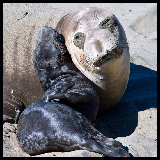 Mother and Pup - Piedras Blancas Rookery, California