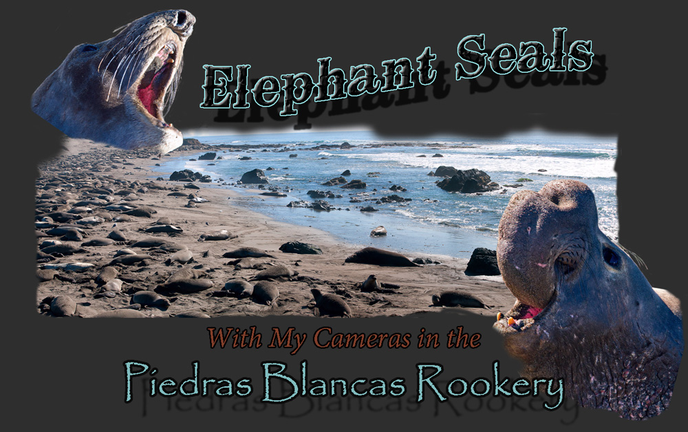 Elephant Seals - With My Cameras in the Piedras Blancas Rookery - Kirk M. Rogers Photography