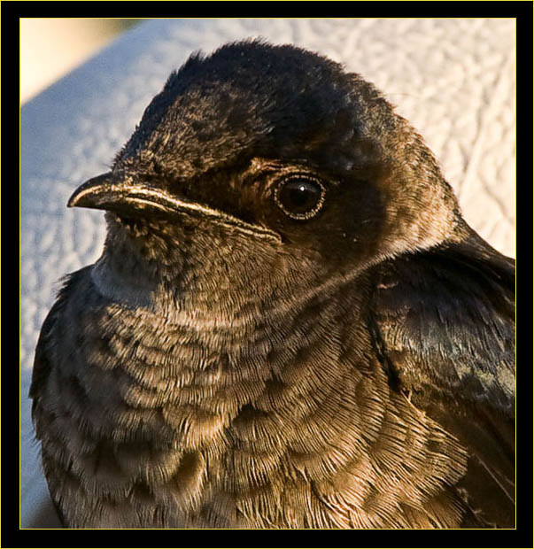 Purple Martin - female