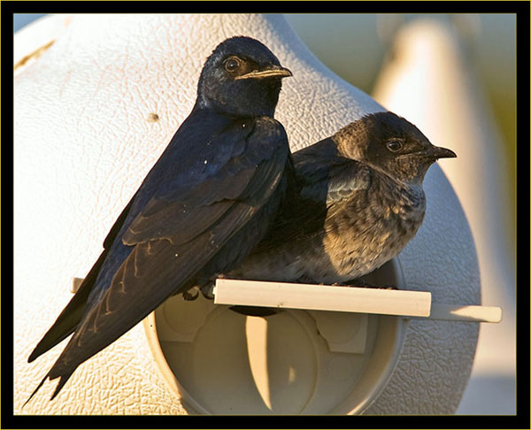 Male & female Purple Martins
