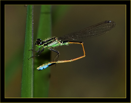 Ramburs  Forktail - male