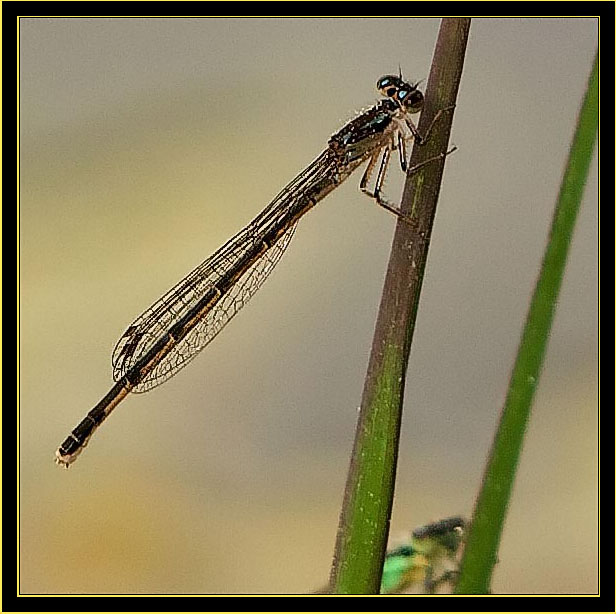 Female Fragile Forktail