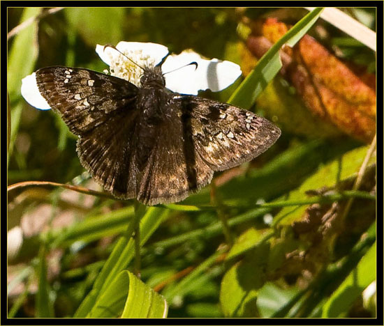 Horace's Duskywing - female