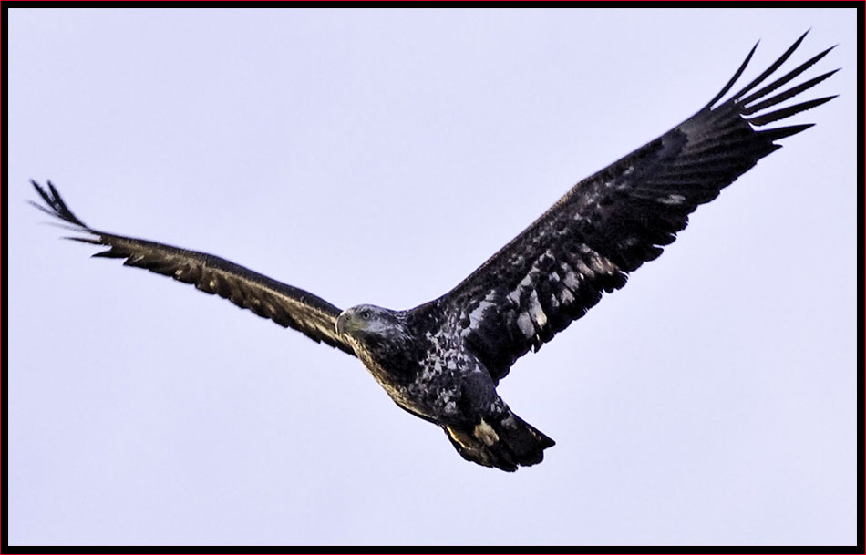 Immature Bald Eagle Flyby