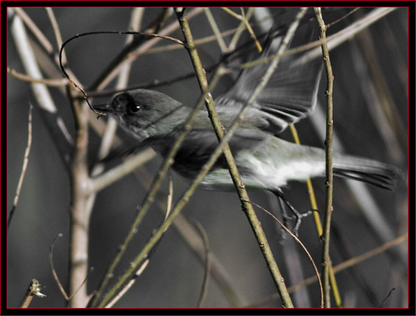 Eastern Phoebe in Motion