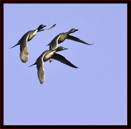 Northern Pintail Formation