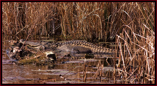 Gator view in SNWR