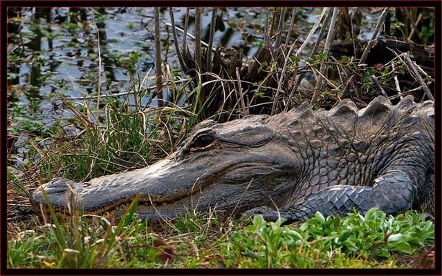 Gator Close Up