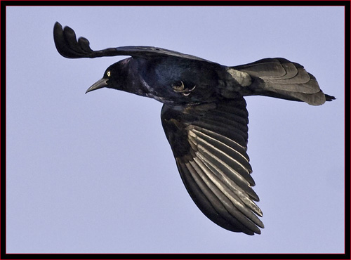 Boat-tailed Grackle in Flight