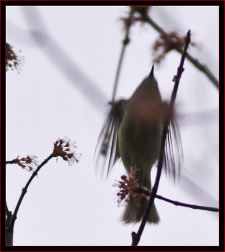 Ruby-crowned Kinglet in Motion