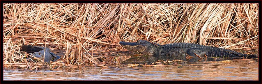Two-shot Gator Composite