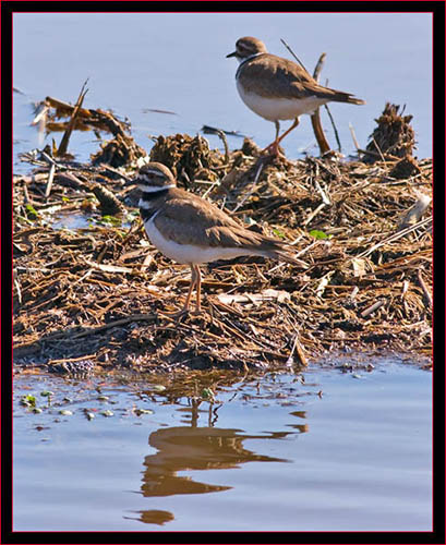 Killdeer Pair