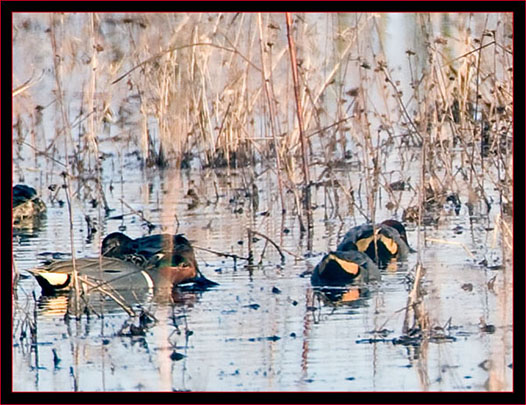 Distant Green-winged Teals