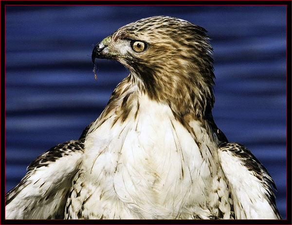 Injured Red-tailed hawk