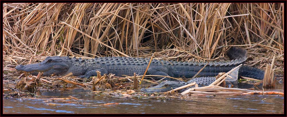 Three-shot Gator Composite