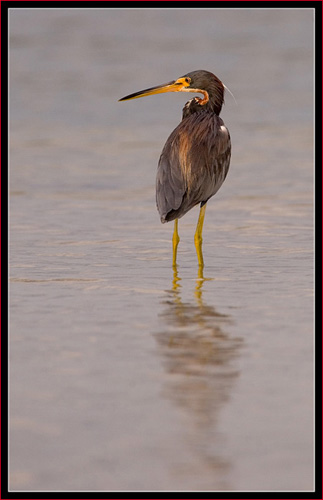 Tricolored Heron