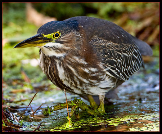 Green Heron in stealth mode