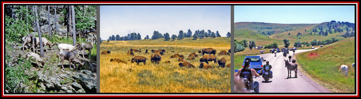 Critters in Custer National Forest-Bighorn Sheep, Bison & Donkeys