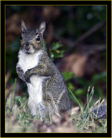 Gray Squirrel - Skidaway Island State Park
