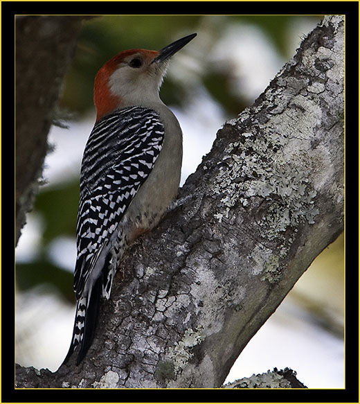 Red-bellied Woodpecker - Skidaway Island State Park
