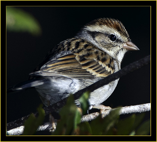 Chipping Sparrow - Skidaway Island State Park