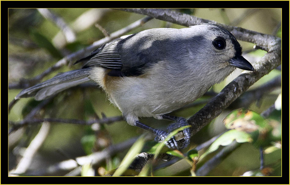 Tufted Titmouse - Skidaway Island State Park
