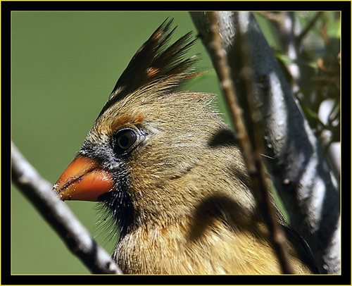 Female Northern Cardinal - Skidaway Island State Park