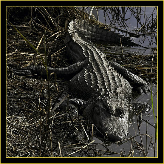 American Alligator - Donnelly Wildlife Management Area...