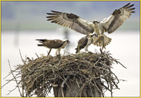 Mother Osprey