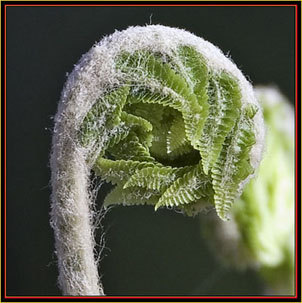 Maine Fiddlehead