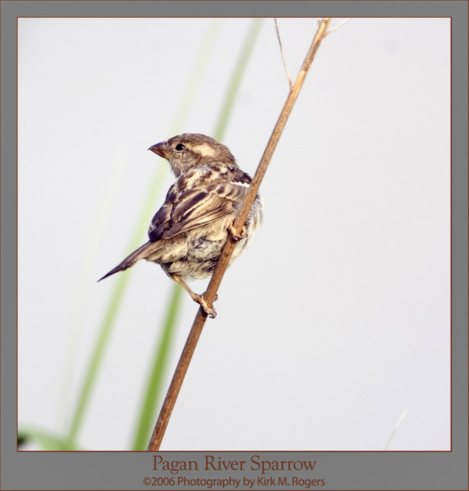 Sparrow on Reed