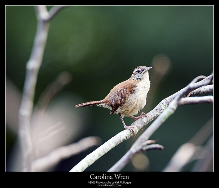 Wren - Another View