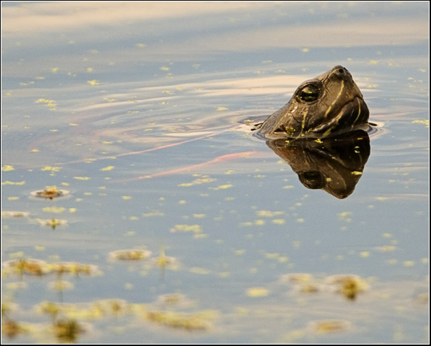 Turtle on the Water - Bryan's Image
