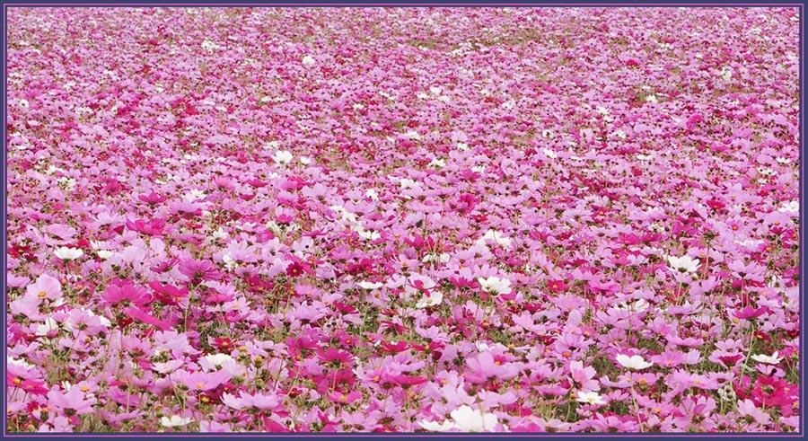 Sea of Flowers - Pink Cosmos