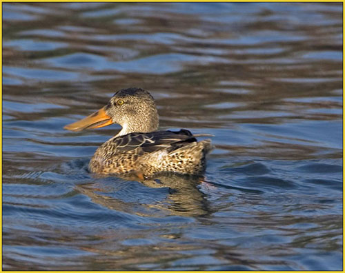 Northern Shoveler - these ducks winter in Virginia and further south