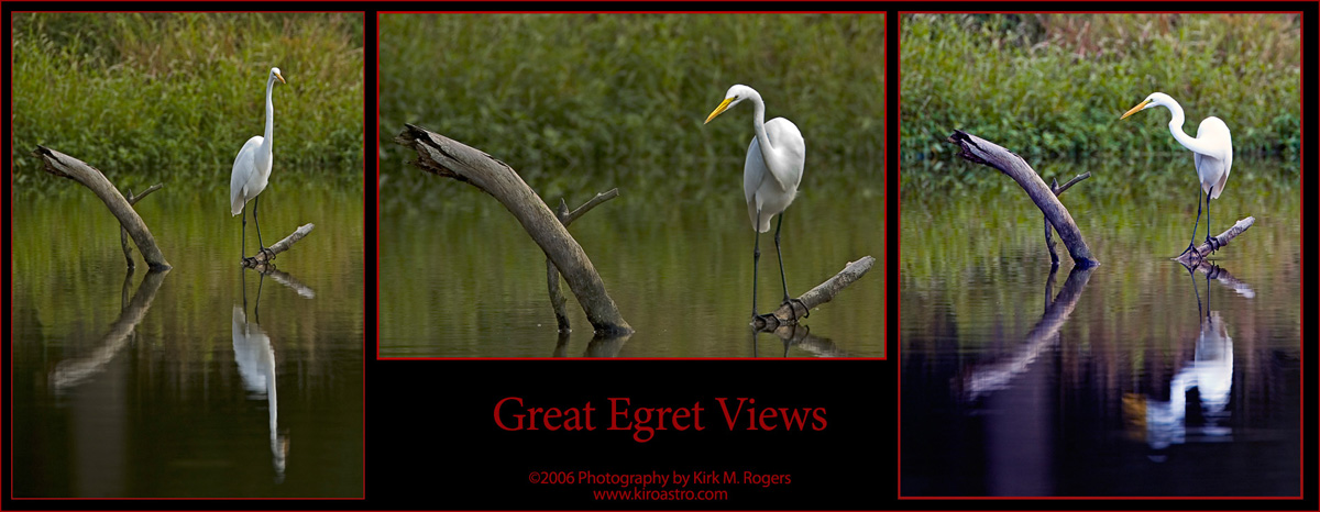 Great Egret Views