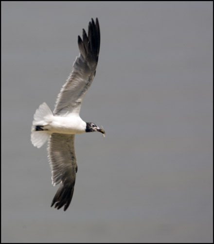 Flying Gull with Small Fish