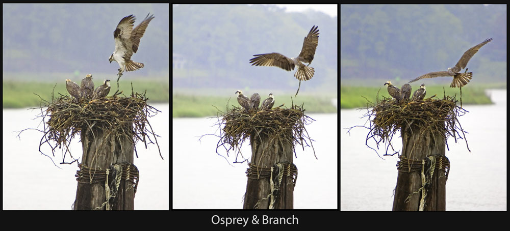 The Osprey Nest - Father with Branch