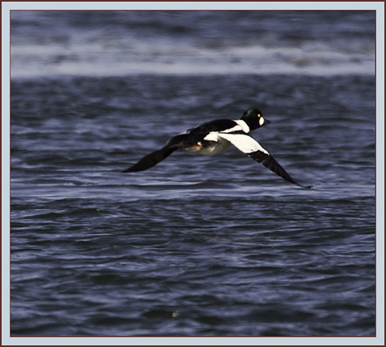 Common Goldeneye Flyby