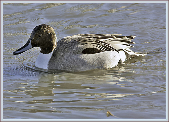 Northern Pintail - South Portland, Maine