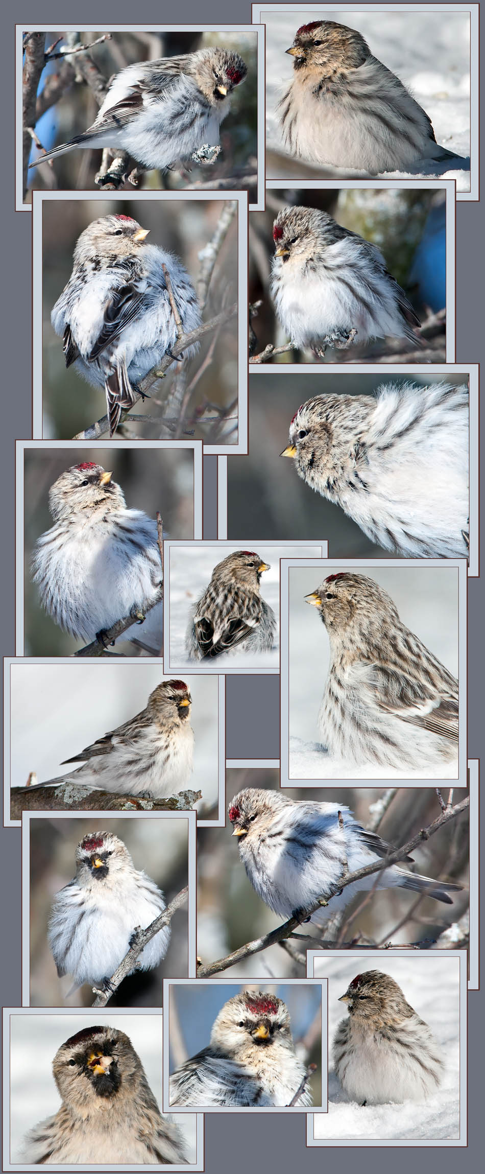 Hoary Redpoll Files