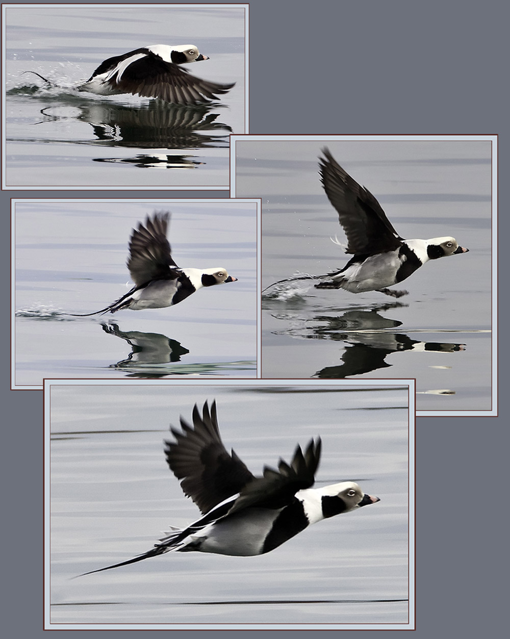 Long-tailed Duck Flight Sequence