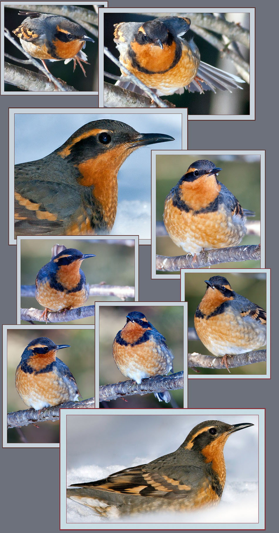 Varied Thrush Views